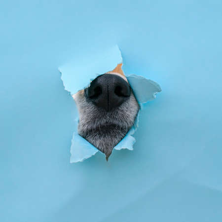 curious wet black dog nose poke in a hole in a torn and crumpled blue paper poster