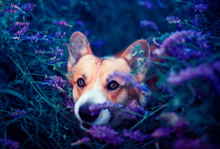 cute a Corgi dog sits in a blooming summer lilac meadow at sunset