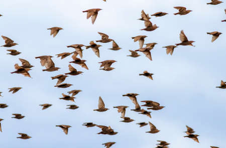 flock of young migratory birds starlings flies against the blue sky of the second world