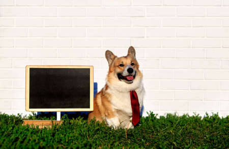 happy red Corgi dog puppy sitting in green grass against a white brick wall next to an empty blackboard in a tie