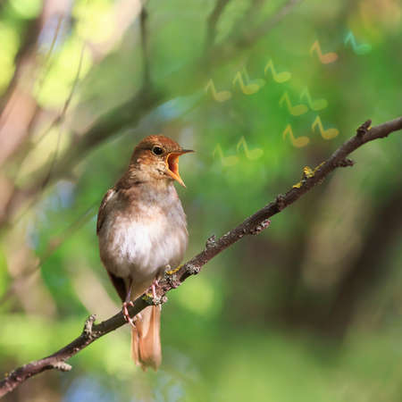 conceptual natural background with a bird Nightingale singing a song sitting on a branch in the a Sunny spring garden releasing symbols glittering notes