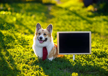 happy red Corgi dog puppy sitting in green on the grass next to an empty black chalkboard at school on a Sunny day
