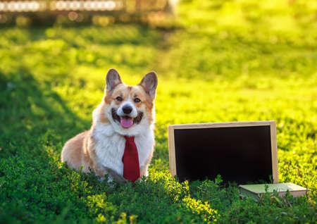 happy red Corgi dog puppy sitting in green grass next to an empty blackboard in a Sunny garden