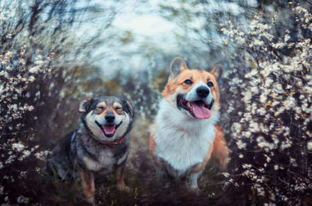 two friendly dogs they sit in the may garden among flowering shrubs and smile sweetly