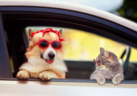 funny cat and dog in fashionable sunglasses stuck their muzzles and paws out of the car window during a trip to the country