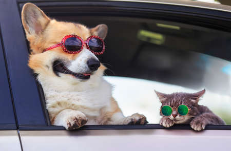 fashionable and funny dog ​​and cat in sunglasses leaned out of the car window during a vacation trip