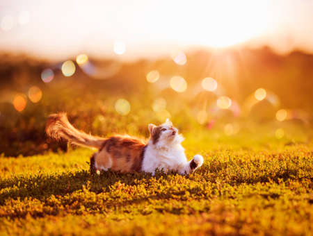 cute fluffy cat lies on the grass in the garden and catches the sun highlights and rays