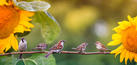 banner with small birds sparrows sitting in the garden on a branch against the background of bright yellow flowers of sunflowers
