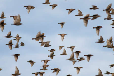 a flock of young migratory birds starlings flying against the blue sky
