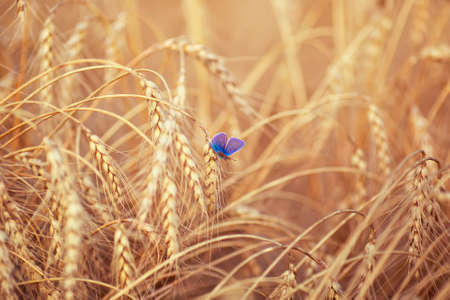 horizontal natural background with a small blue butterfly sitting on ripe Golden wheat ears on a Sunny day in a field Standard-Bild