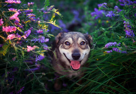cute dog sitting on blooming summer lilac and pink meadow and smiling sweetly devoutly looking up Standard-Bild