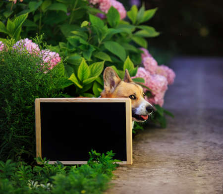 puppy dog red Corgi in the garden among a bed of pink flowers hydrangeas looks out from behind a black chalk Board on a Sunny day