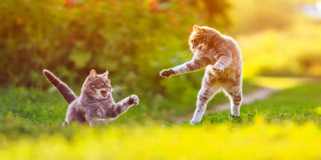 two striped cats play on a sunny green lawn bouncing high and releasing claws