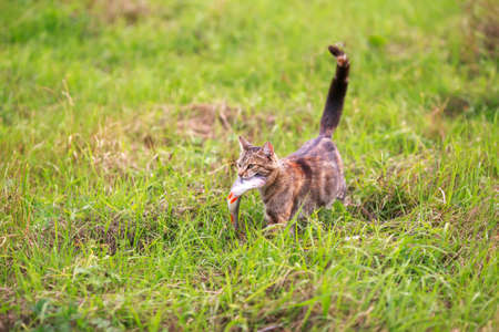 cute a tabby cat carries a large fish perch caught in its teeth across the green grass