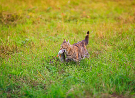 nimble a striped cat carries a fish caught in the teeth of a large one across a green clearing Standard-Bild