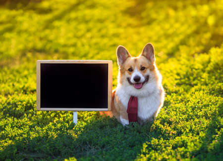 portrait of a red Corgi dog puppy standing in the green on the grass behind an empty black chalkboard at school on a Sunny day