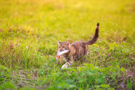striped cat carries a fish caught in the teeth of a large one across a green clearing