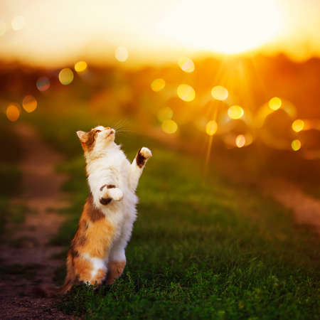fluffy cat stands on the grass in the garden and catches paw sun glare and rays Standard-Bild