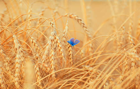 horizontal natural background with a small blue butterfly sitting on ripe Golden wheat ears on a Sunny day