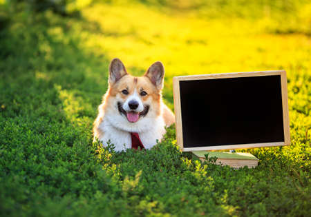 happy red Corgi dog puppy in tie lies in the green grass next to an empty blackboard in a Sunny garden