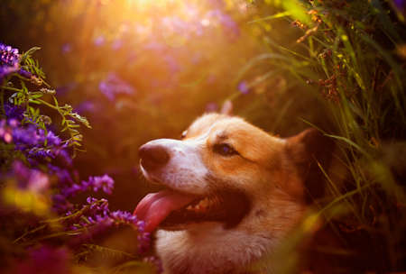 cute a Corgi dog sits on a blooming summer lilac meadow in the sun