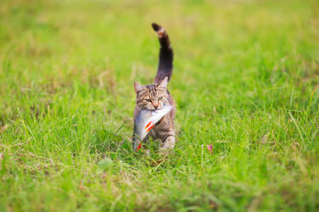 cute striped cat fisherman carries a large bass caught in the teeth of a green meadow