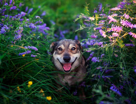 portrait of cute dog sitting on blooming summer lilac meadow and looks happily