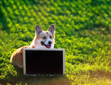 happy red Corgi dog puppy sitting in green grass behind an empty black chalkboard on a Sunny day