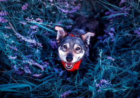 portrait of cute dog sitting on a blooming summer lilac meadow and smiles joyfully devoutly looking up