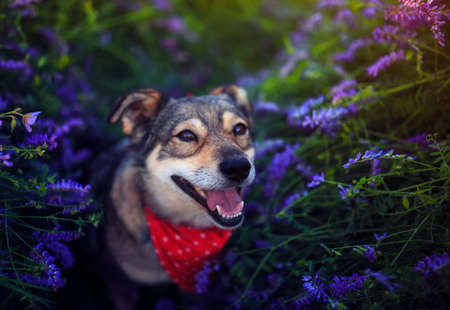 cute puppy sitting on blooming summer lilac meadow and smiling sweetly devoutly looking up Standard-Bild