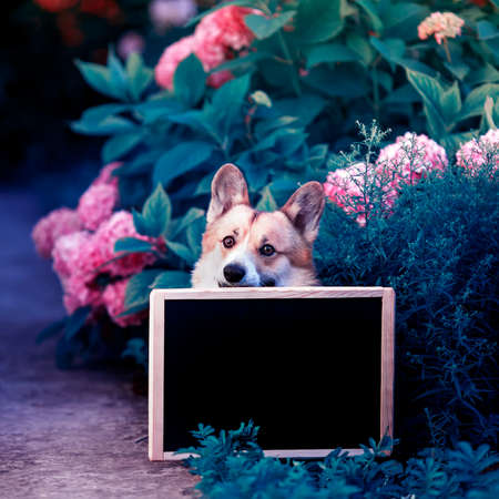 square portrait of a red Corgi dog puppy in the garden among a bed of pink hydrangea flowers peeking out from behind a black chalk Board on a Sunny day