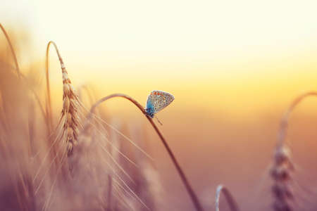 natural background with a small blue butterfly sitting on ripe Golden wheat ears on a Sunny day Standard-Bild