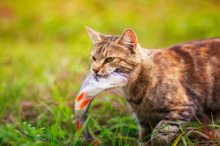 nimble a fisherman cat proudly carries a large striped bass caught in its teeth across a green clearing Standard-Bild