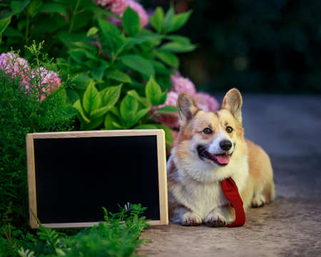 portrait of a puppy dog red Corgi lying in the garden among a bed of pink flowers hydrangeas with an empty school black chalk Board on a Sunny day