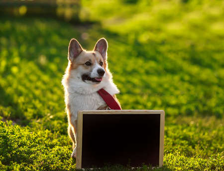 happy red Corgi dog puppy stands in green grass behind an empty black chalkboard on a Sunny day Stock Photo