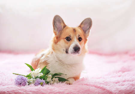 portrait of a cute corgi dog with big ears lying on a pink blanket with a bouquet of flowers