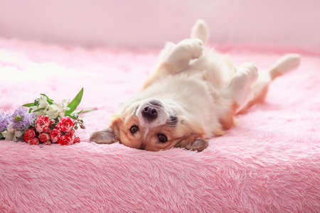 portrait of a cute corgi dog with big ears lying on a pink blanket to the top of a belly with a bouquet of flowers
