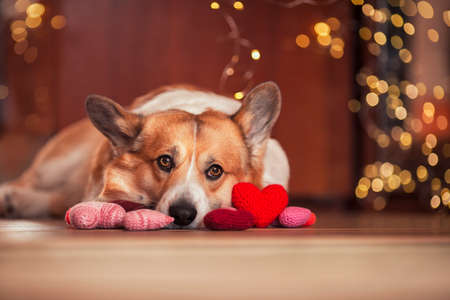 cute portrait of a corgi dog puppy lies on the wooden floor among the scarlet and pink hearts