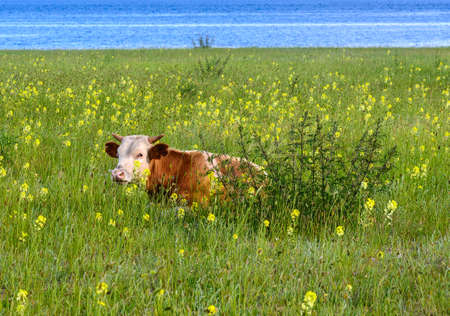 the cow among the yellow flowers