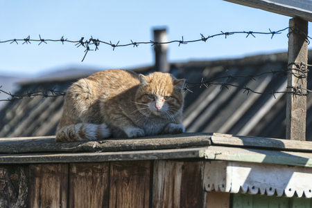 dirty red cat lying on the fence under the barbed wire