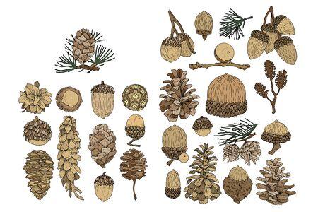 A acorn