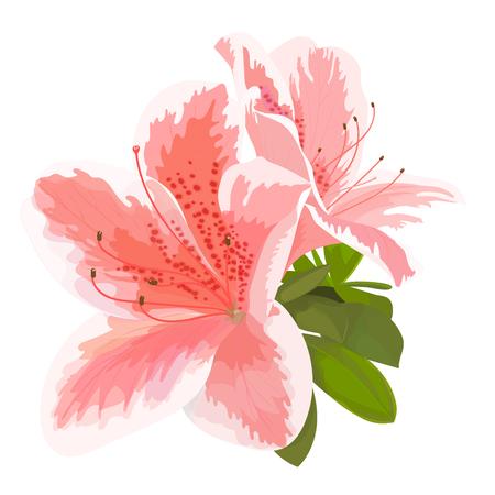 Illustration vectorielle de deux délicates fleurs roses et blanches, bourgeon de rhododendron, fleurissent sur une branche. Belle azalée sur fond blanc Vecteurs