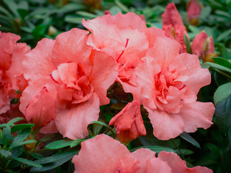 A branch with a fragrant red flowers Azalea