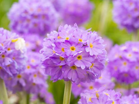 Several globular flowers of Primula on a background of green grass in the spring