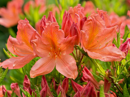 Rhododendron japonicum Stock Photo