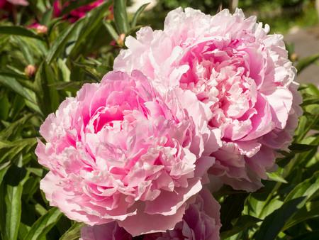 Macro image of two big Bud lush pink peony flower Stok Fotoğraf