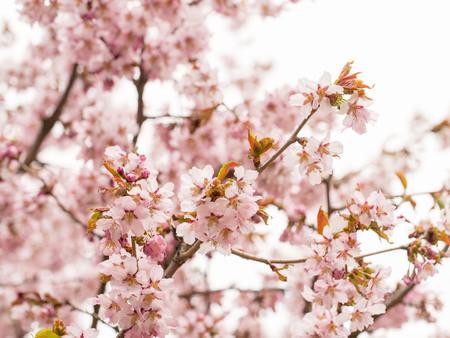 Tak met bloesems Sakura. Overvloedige bloeiende struiken met roze knoppenkersbloesems in de lente.