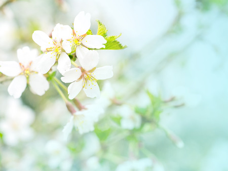Flowers of cherry blossom in the soft pink light, sacura with bokeh and filters, floral background
