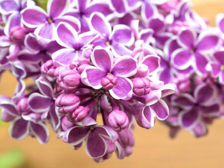 Syringa Sensation, lush buds of lilac flowers on a branch, close-up of inflorescence