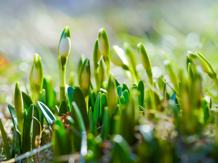 Snowdrop with blossom on sunlight, revival of spring flower with bud, the awakening of nature.